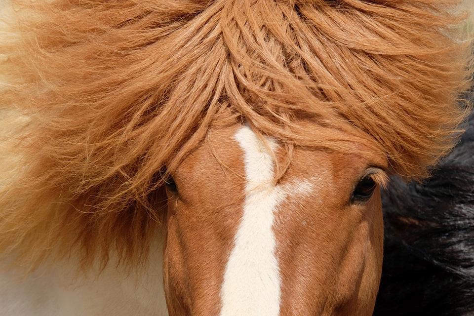 cheval_roux