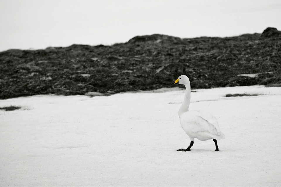 cygne_neige