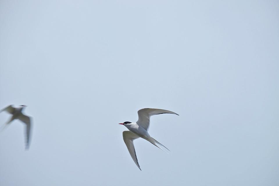sterne_oiseaux