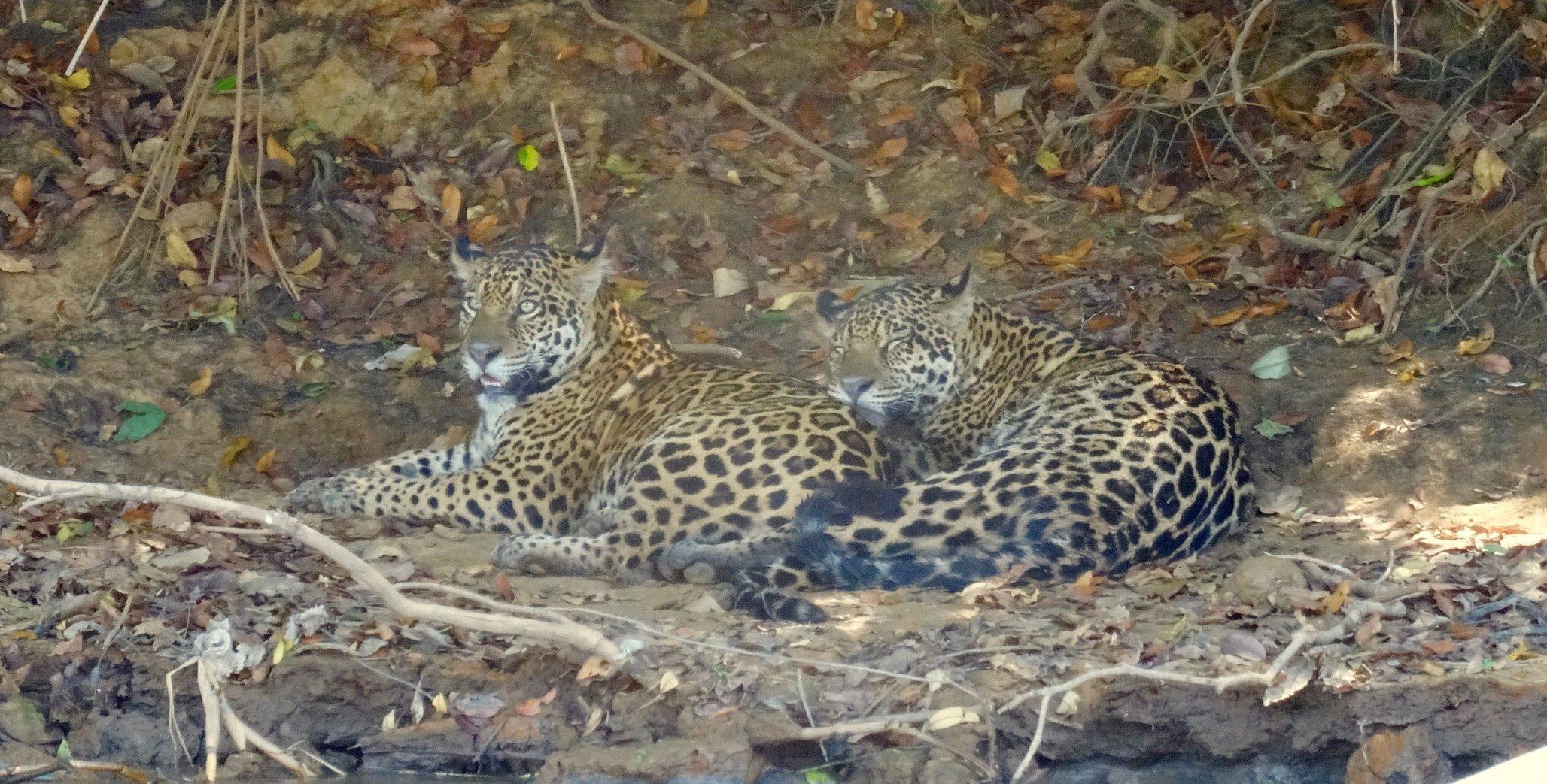 Frères jaguar