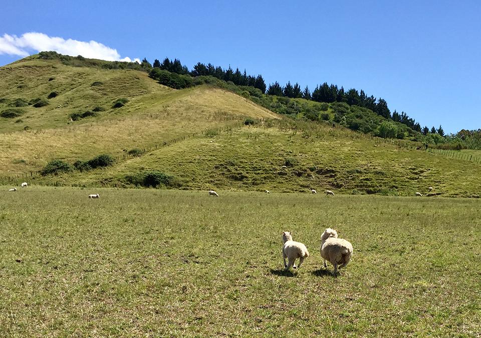 mouton_taille