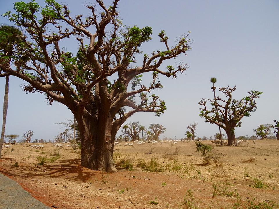 Baobabs sur la route
