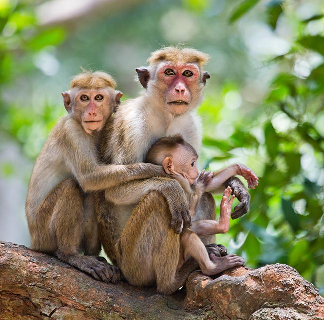 Monkeys in Sri Lanka_taille
