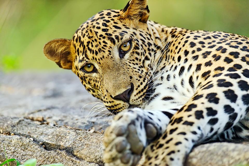 Sri Lankan Leopard_taille